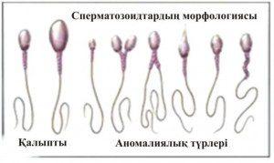 Сперматозоидтардың морфологиясы